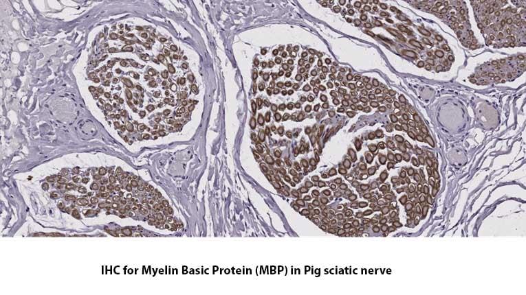 IHC-for-Myelin-Basic-Protein-MDBiosciences