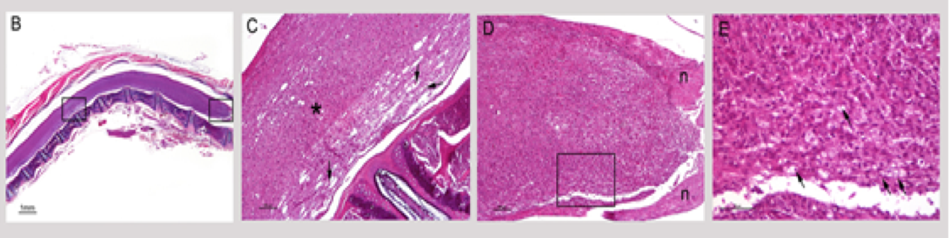 Longitudinal-Sections-of-Spinal-Cord-Mog-Induced-EAE-Model-H&E-Staining